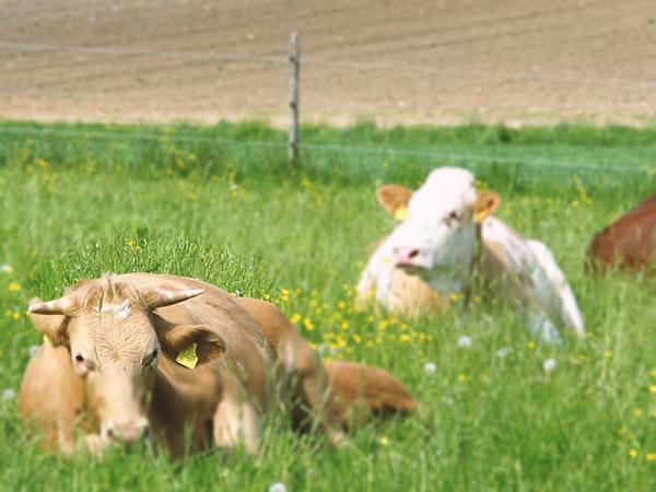 Landwirt Hirschvogel, Rinderzucht